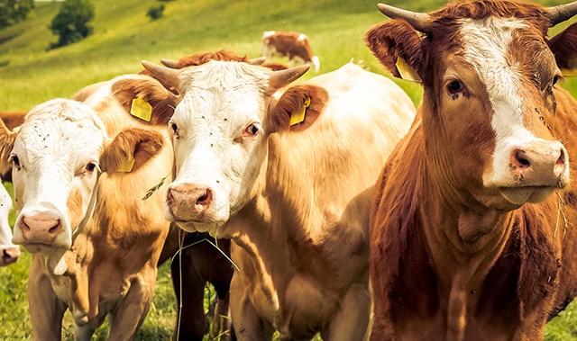 L-mobile rfid-finder.com Tieridentifikation mit RFID Technologie Viehzucht